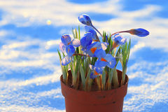 Flores do azul da mola Imagens de Stock Royalty Free