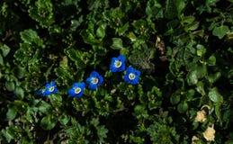 Flores do azul da mola Imagem de Stock