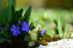 Flores do azul da mola Imagens de Stock