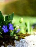 Flores do azul da mola Fotografia de Stock