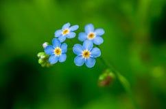 Flores do azul do miosótis Foto de Stock Royalty Free