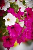 Flores do balcão Foto de Stock Royalty Free