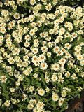 Flores do bebê na mola Fotografia de Stock Royalty Free