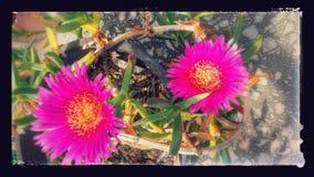Flores do beira-mar Imagens de Stock Royalty Free