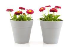 Flores do Bellis Imagens de Stock Royalty Free