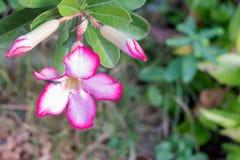 Flores do bignonia ou flor cor-de-rosa do Adenium, deserto Rosa na árvore, flor cor-de-rosa fresca imagens de stock royalty free