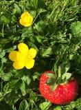 Flores do botão de ouro Imagens de Stock Royalty Free