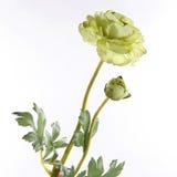 Flores do botão de ouro no fundo branco Imagens de Stock Royalty Free