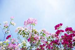 Flores do bougainvillea Imagens de Stock