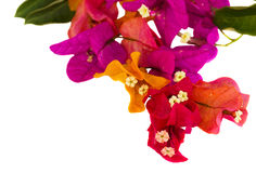 Flores do Bougainvillea Fotografia de Stock Royalty Free