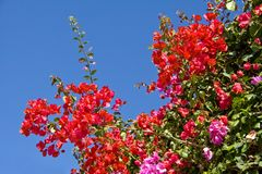 Flores do Bougainvillea   Imagem de Stock