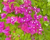 Flores do Bougainvillea em um arbusto Fotografia de Stock Royalty Free