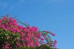 Flores do buganvília em um fundo do céu sem nuvens Fotografia de Stock Royalty Free