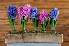 Flores do bulbo da mola no potenciômetro Fotos de Stock