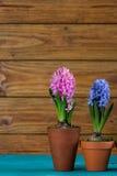 Flores do bulbo da mola no potenciômetro Fotografia de Stock Royalty Free