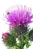 Flores do Burdock foto de stock royalty free