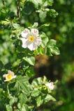 Flores do cão Rosa Fotos de Stock Royalty Free