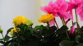 Flores do cíclame, cor-de-rosa bonitos e do gerânio video estoque