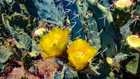 Flores do cacto Fotos de Stock Royalty Free