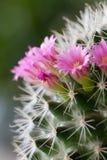 Flores do cacto Foto de Stock Royalty Free