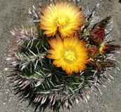 Flores do cacto fotografia de stock royalty free