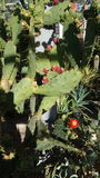 Flores do cacto Imagens de Stock Royalty Free