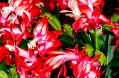 Flores do cacto da ação de graças do Schlumbergera, do cacto de caranguejo ou do cacto do feriado Imagem de Stock Royalty Free