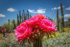 Flores do cacto da tocha contra o cacto da tubulação de órgão Imagens de Stock Royalty Free