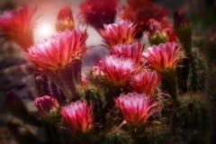 Flores do cacto da tocha na flor Imagem de Stock Royalty Free