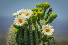 Flores do cacto do Saguaro Fotos de Stock Royalty Free