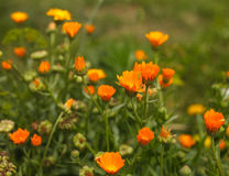 Flores do Calendula Fotografia de Stock