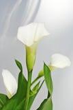 Flores do Calla Foto de Stock Royalty Free