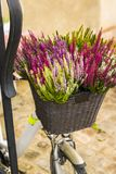 Flores do Calluna em uma cesta da bicicleta Foto de Stock
