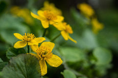 Flores do Caltha Fotos de Stock Royalty Free