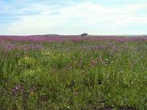 Flores do campo, azaléia Fotografia de Stock