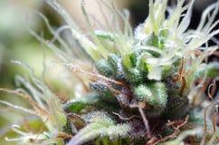 Flores do cannabis Fotos de Stock Royalty Free