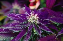 Flores do cannabis sob o diodo emissor de luz Foto de Stock