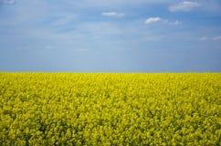 Flores do Canola no campo foto de stock royalty free