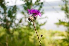 Flores do cardo Imagens de Stock Royalty Free