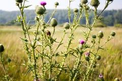 Flores do cardo Fotografia de Stock Royalty Free