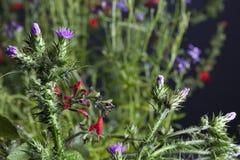 Flores do cardo fotos de stock royalty free