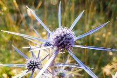 Flores do cardo azul na luz solar Ilha de Cres, Croácia Fotos de Stock