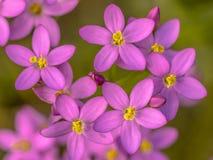 Flores do Centaurium imagens de stock royalty free