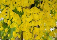 Flores do chuveiro dourado Fotos de Stock Royalty Free