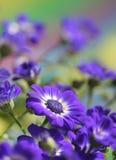 Flores do Cineraria Imagem de Stock Royalty Free