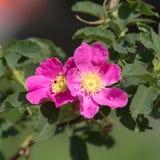 Flores do close up cor-de-rosa selvagem Imagens de Stock Royalty Free