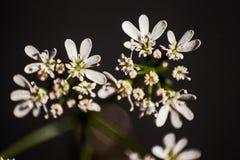 Flores do coentro em um fundo escuro 2 Fotografia de Stock Royalty Free