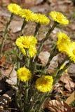 Flores do Coltsfoot, farfara do Tussilago fotografia de stock