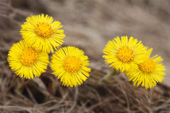 Flores do Coltsfoot. (Farfara do Tussilago) Fotografia de Stock Royalty Free