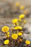 Flores do Coltsfoot. (Farfara do Tussilago) Imagem de Stock